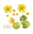 Buttercup perennial flower vector image vector image
