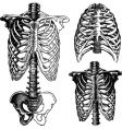 anatomical chest drawings vector image