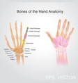 bone of the hand anatomy vector image vector image