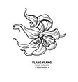 ylang ylang drawing isolated vintage vector image vector image