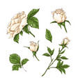 set of white rose flower bud and leaves isolated vector image vector image