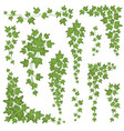 ivy green leaves on hanging branches wall vector image