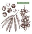 macadamia hand drawn food drawing nut tre vector image vector image