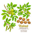walnut plant set on white background vector image vector image