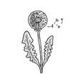 dandelion taraxacum sketch vector image vector image