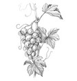 grape branch pencil drawing vector image vector image