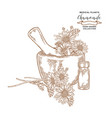 chamomile flowes and leaves medical plants set vector image vector image