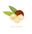 group of macadamia with leaves for your design vector image