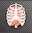 rib cage lungs heart liver stomach iinternal vector image