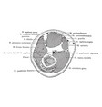 cross section through thigh four inches above vector image vector image