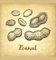 ink sketch of peanuts vector image