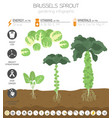 brussels sprout cabbage beneficial features vector image vector image