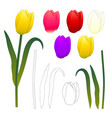 yellow pink red purple white tulips and outline vector image