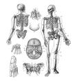 Human skeleton vintage engraving