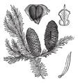 Balsam fir vintage engraving vector image vector image