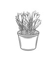 crocus in a pot outline vector image