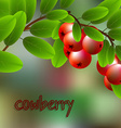 Red juicy sweet cowberry on a branch for your vector image
