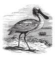 Eurasian Spoonbill vintage engraving vector image vector image