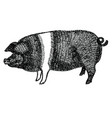 british saddleback pig hand drawn vector image