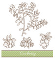 cowberry in hand drawn style vector image vector image
