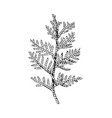 hand drawn black and white cedar branch vector image vector image