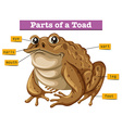 Diagram showing parts of toad vector image vector image
