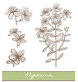 hypericum in hand drawn style vector image vector image