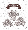 parsley herb and spice label engraving vector image vector image