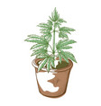 cannabis plant in a pot drug and medicine icon vector image vector image