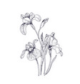 detailed drawing of spring iris flowers and buds vector image