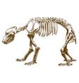 engraving bear skeleton vector image