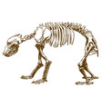 engraving of bear skeleton vector image vector image