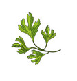 coriander herb to natural condiment of food vector image vector image