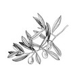 hand drawn olive tree branch vector image vector image