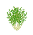Fresh Green Chicory on A White Background vector image vector image