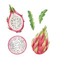 watercolor hand pink painted dragon fruit vector image vector image
