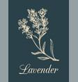 lavender branch hand drawn vector image