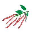 Fresh and Ripe Kidney Bean on A Plant vector image vector image