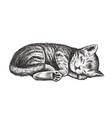 kitten is sleeping vector image vector image