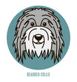 portrait bearder collie vector image vector image