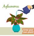 hand watering aglaonema plant vector image vector image