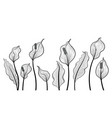 peace lily flowers hand draw vector image
