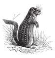 Vintage ground squirrel Sketch vector image vector image
