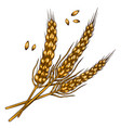 wheat spikelets in engraving style design element vector image