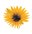 yellow sunflower vector image