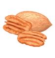 pecan nuts vector image vector image