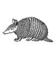cingulata wild animal engraving vector image vector image