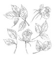 sketch roses collection vector image