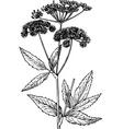 aegopodium goutweed vector image vector image