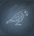senegal parrot icon sketch on chalkboard vector image vector image
